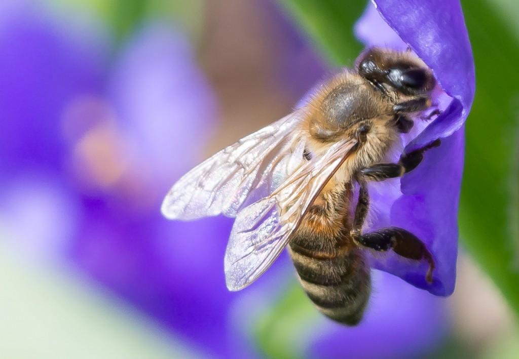 100 % Crop der Biene, sodass sich 13 x 9cm bei 230dpi ergeben