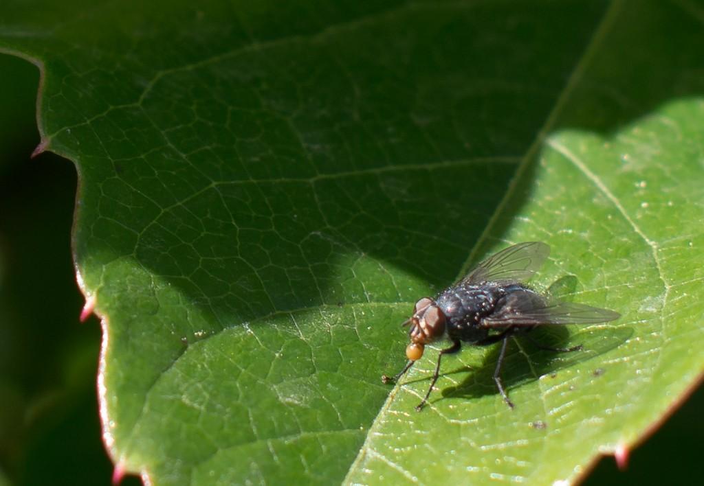 100% Crop der Fliege, sodass dabei 13 x 9 cm bei 230 dpi raus kommen